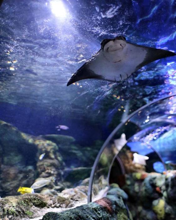 A walk through glass tunnel inside an enormous aquarium.  A large manta ray swims over head and corals surround the walls.  Small fish on the sides of the tunnel.  Things to do in Charlotte, NC - Sea Life Concord Aquarium.