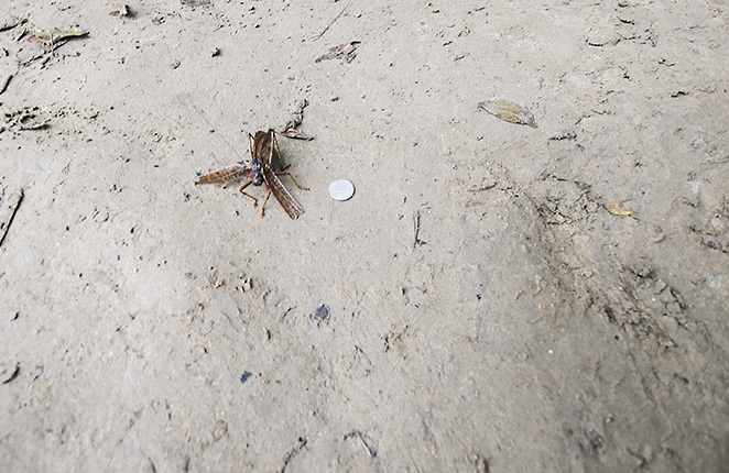 A very large bug sitting on a beach next to a 5 cent coin.