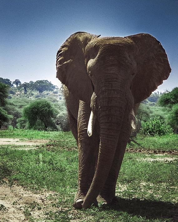 A large male elephant with tusks a safari in Tanzania, Africa