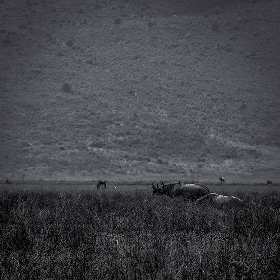 Two rhinoceroses rhinos dark a safari in Tanzania, Africa nighttime