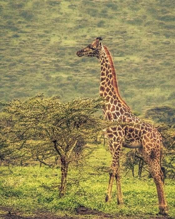 A giraffe with a small tree a safari in Tanzania, Africa