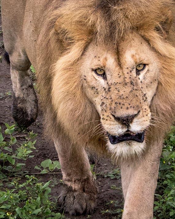 lion approaching the photographer on tanzania safari dangerous close up wild