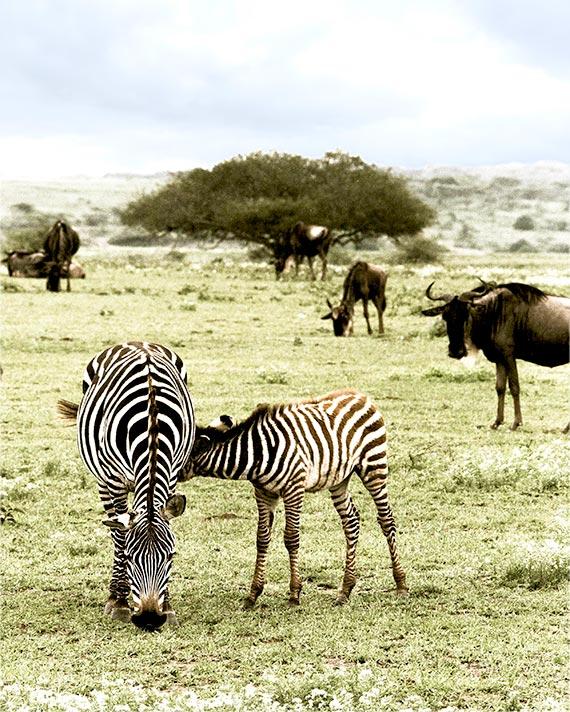 a baby zebra nursing breastfeeding a safari in Tanzania, Africa