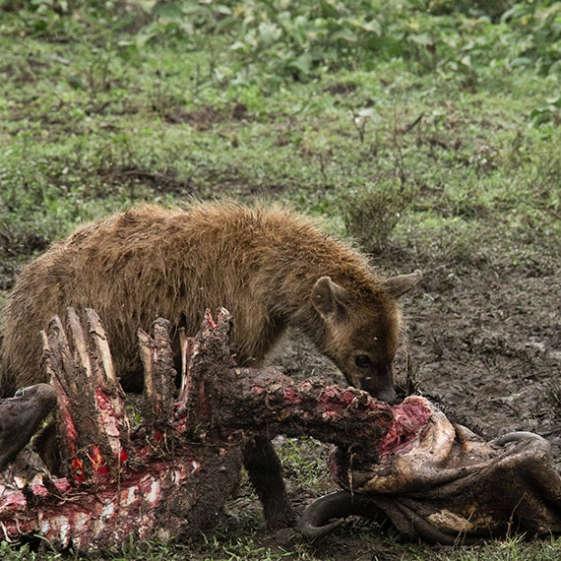 A hyena enjoying a meal of fresh kill a safari in Tanzania, Africa