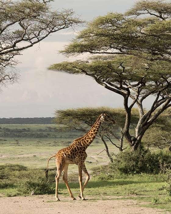 A giraffe on a safari in Tanzania, Africa ngorongoro crater trees