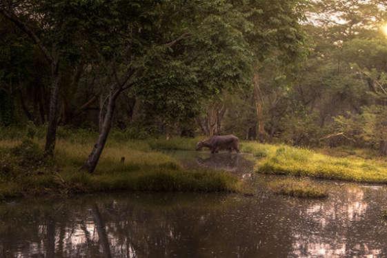 a water buffalo crossing water in early morning at mount meru game lodge a tanzania safari africa