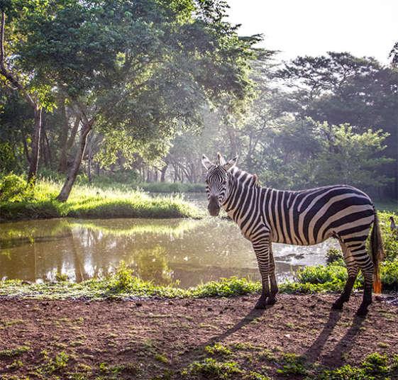zebra africa tanzania arusha hotel