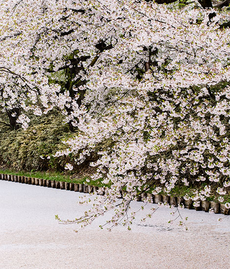 things to do in japan - cherry blossom
