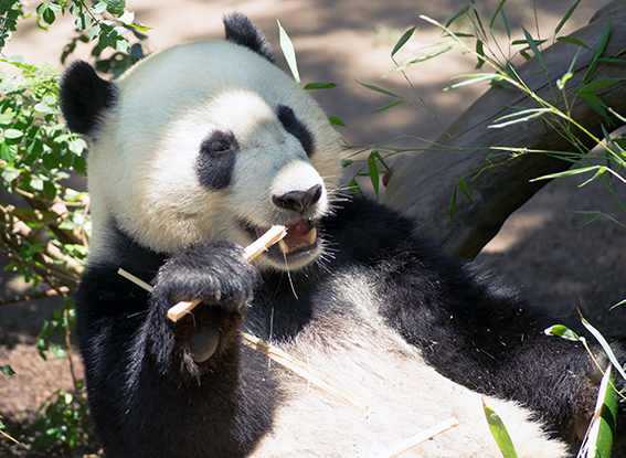 panda bear eating a bamboo stick in san diego zoo, on a southern california road trip, day 1