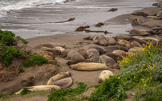 elephant seals lounging on a beach, yellow wildflowers in the foreground and sea in the background.