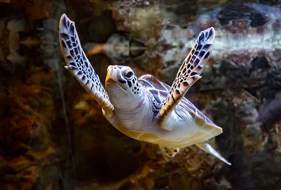 Sea Turtle swimming under the sea, monterey bay aquarium, pacific coast highway