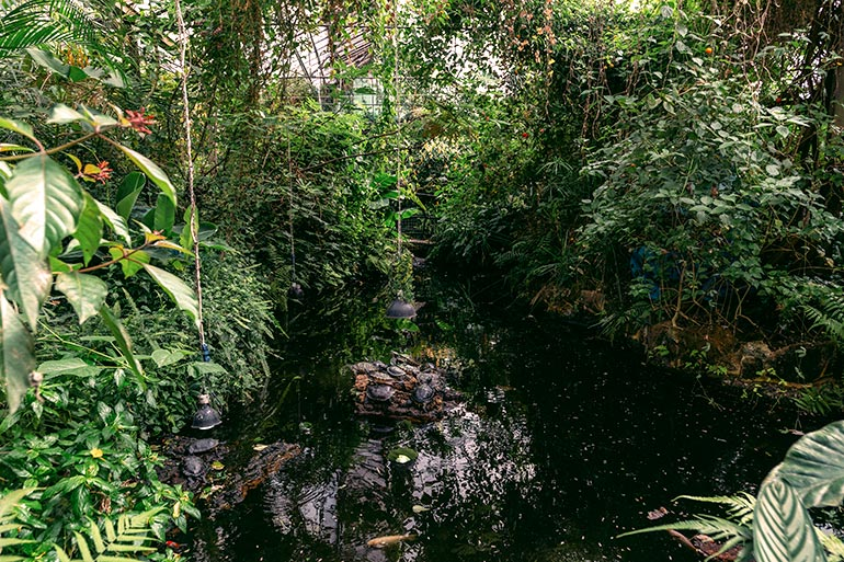 A group of turtles resting in the middle of a small indoor pond.  Greenery surrounding the shores, heating lamps hanging overhead.