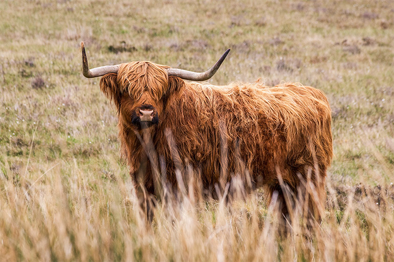 A highland cow covered in very long, thick fur with two thick bend horns..  He is staring at the camera, grass surrounds him.