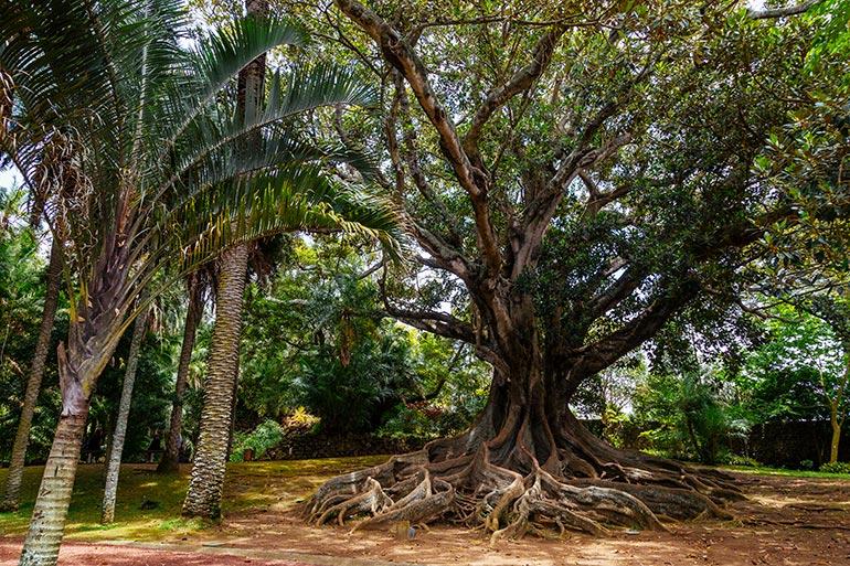 An ancient tree in Jardim Antonio Borges