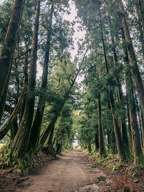 Lagoa Do Congro, Sao Miguel, Azores, Portugal. Majestic trees lean over a pretty dirt path that receedes into the distance.