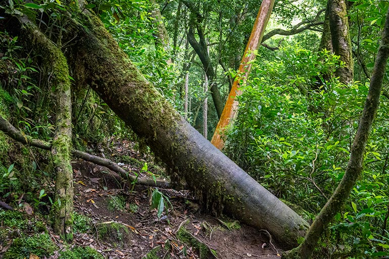 A large tree blocks the path on a hiking trail in Lagoa Do Congro, Sao Miguel, Azores, Portugal.