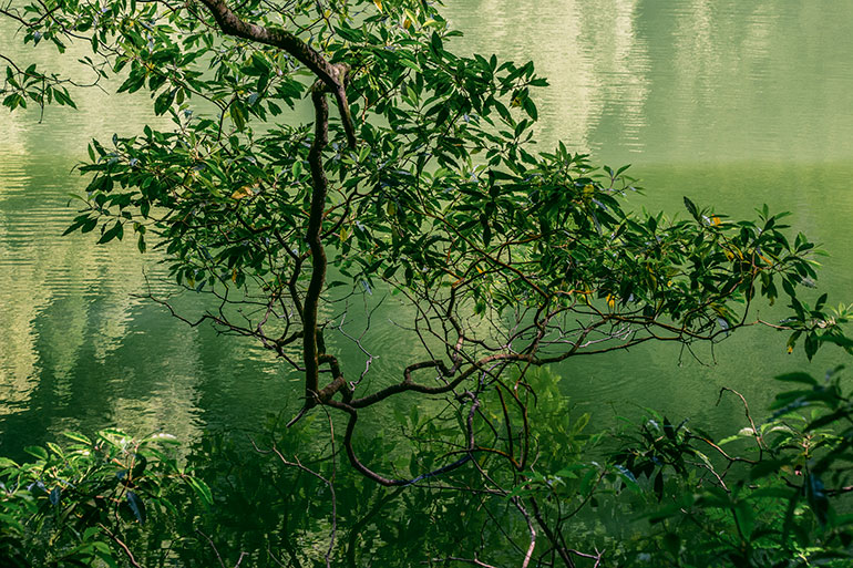 A branch with leaves leans over a green lake in Lagoa Do Congro, Sao Miguel, Azores, Portugal.
