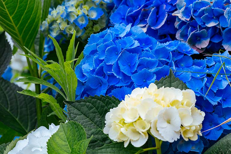 Bright blue flowers in Sao Miguel Azores