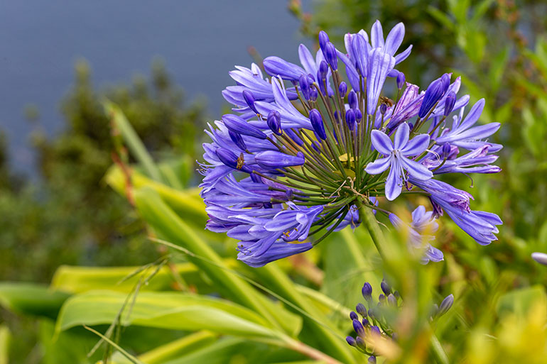 Purple flower in Sao Miguel Azores