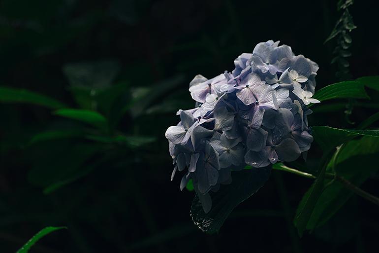 Purple flower against a dark background.