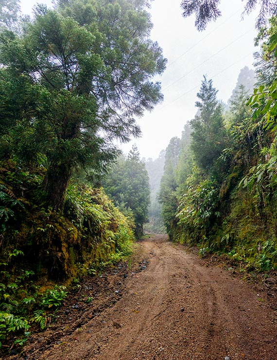 A hiking trail, lined by tall trees and fog in the background