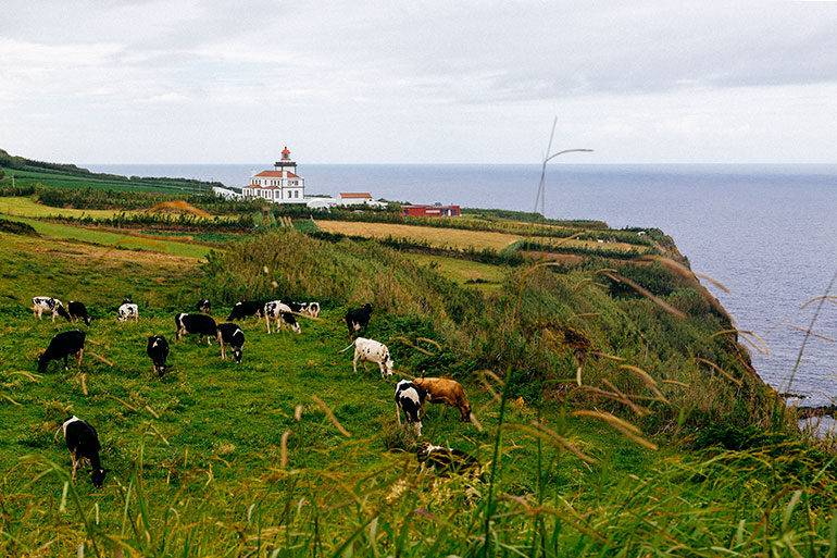 Ponta Da Ferraria, Sao Miguel, Azores, Portugal.  Cows grazing on a grassy hill.  In the background a small building and the ocean surrounds the hill.