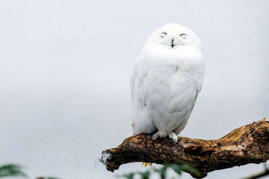 A white owl on a tree branch in bird of prey center in Aillwee Cave.