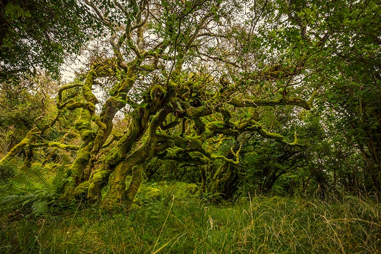 A moss covered tree in the secret fairy fort.
