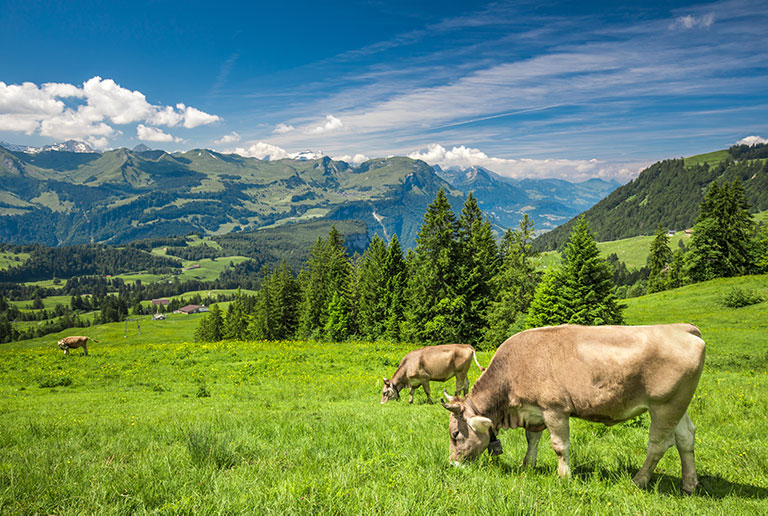 A cow on a summer day in the Alps, Switzerland.