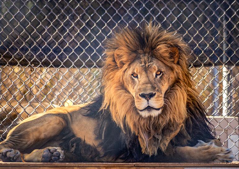 Lion Habitat Ranch, part of Las Vegas seven day itinerary.