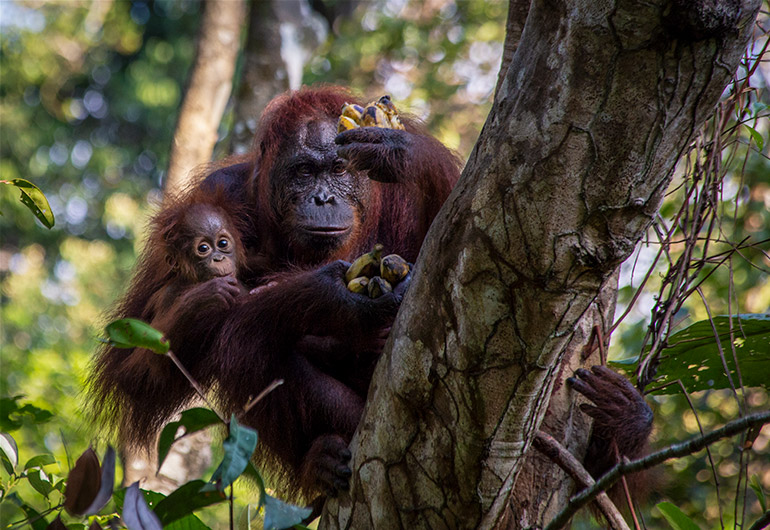 A mom and a newborn baby orangutan in a tree in Tanjung Puting National Park.
