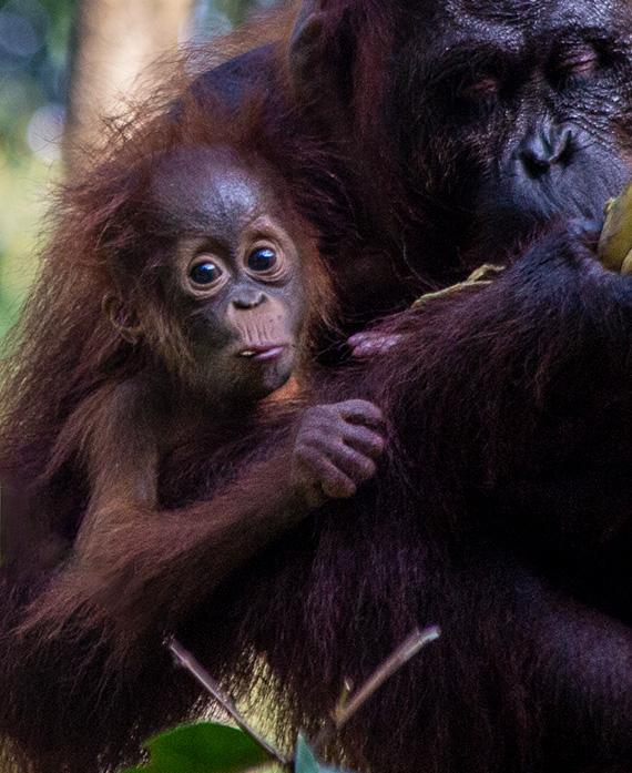 A baby and a mother orangutan.