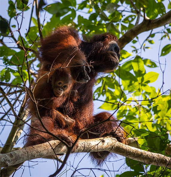 Orangutan safari in Indonesia - a complete guide. Mom and baby orangutans in a tree.