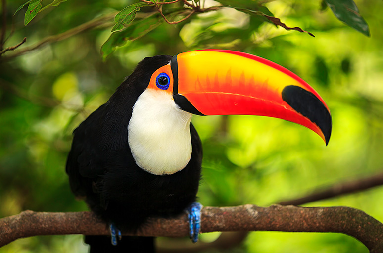 A colorful amazonian bird (toucan) with a large beak.