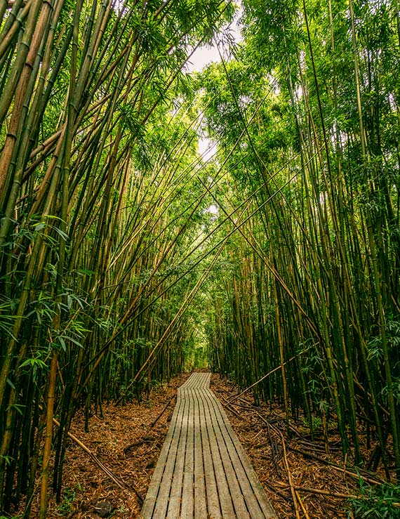 The bamboo forest on day 4 of Maui Itinerary.