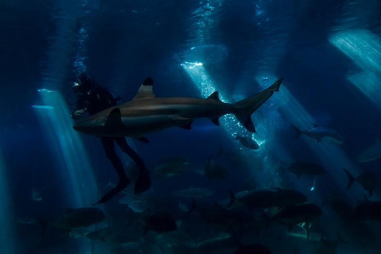 A shark and a diver in the Maui Ocean Center, Maui Island, Hawaii