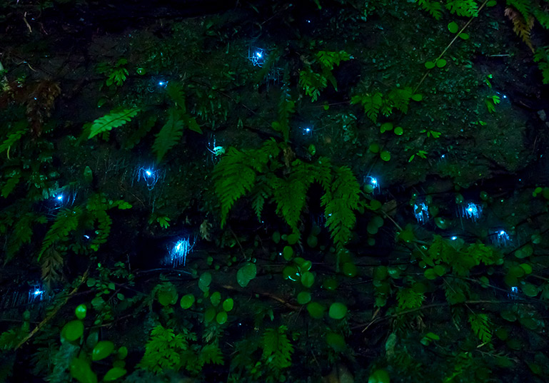 Gloworms on Ruakuri Bushwalk, North Island New Zealand.